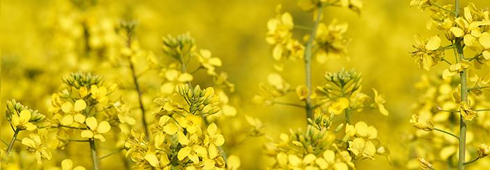 Olej rzepakowy - oliwa krajów północy
